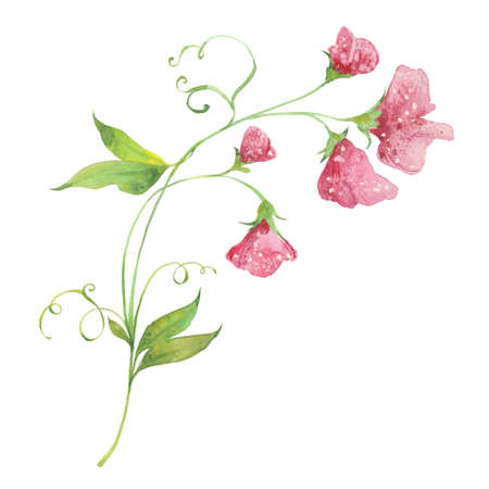 sweet pea, watercolor illustration  on white background Stok Fotoğraf