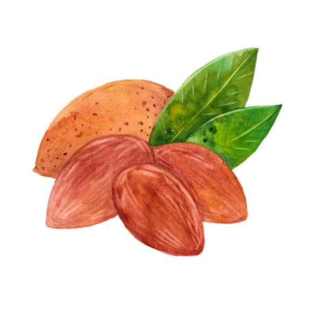 the kernel: almonds and leaves, watercolor illustration  on white background