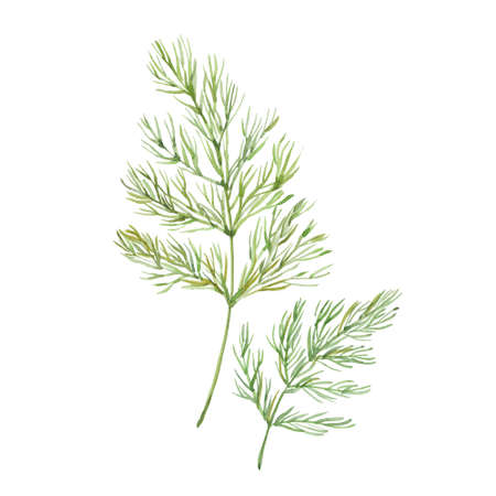sprig: Sprig of dill Stock Photo