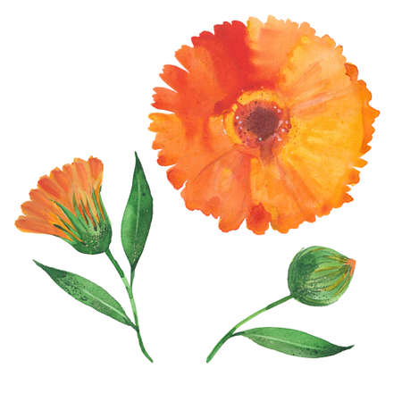 calendula flower , watercolor illustration  on white background