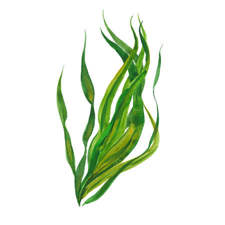 kelp seaweed, watercolor illustration  on white background 写真素材
