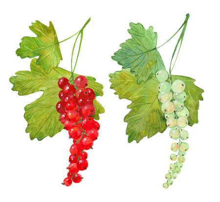 red and white currants