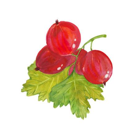 branch of gooseberry