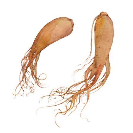 two roots of ginseng Stock Photo