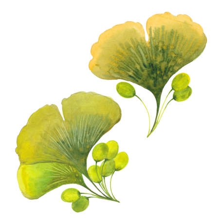 watercolor  ginkgo biloba Stock Photo