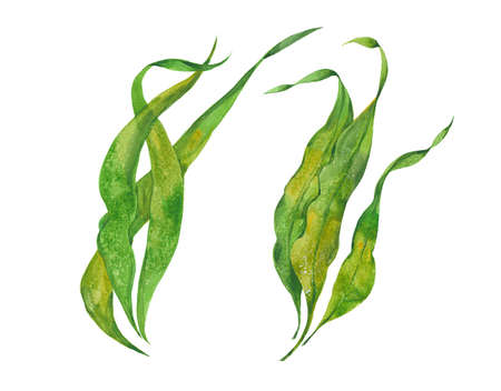 seaweed kelp, watercolor illustration  on white background