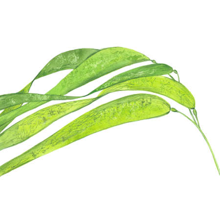 watercolor laminaria leaves