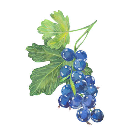 black  currant. . Hand drawn watercolor painting. Illustration  on white background