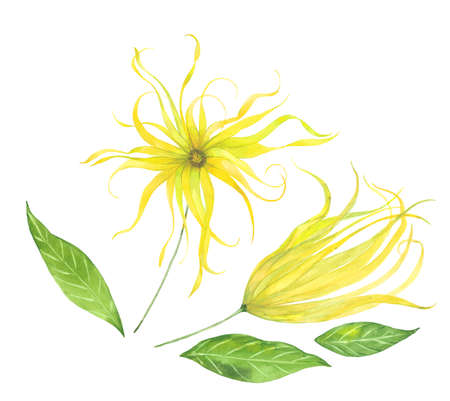 watercolor ylang-ylang flowers 写真素材