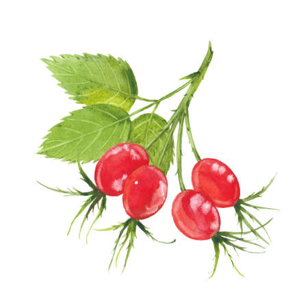 watercolor rosehip berries