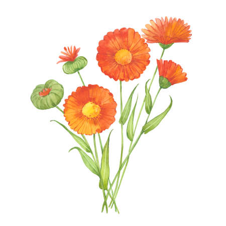 sprig of calendula 版權商用圖片 - 131956411