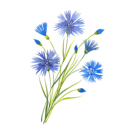 Sprig of beautiful blue cornflower. Illustration on white background