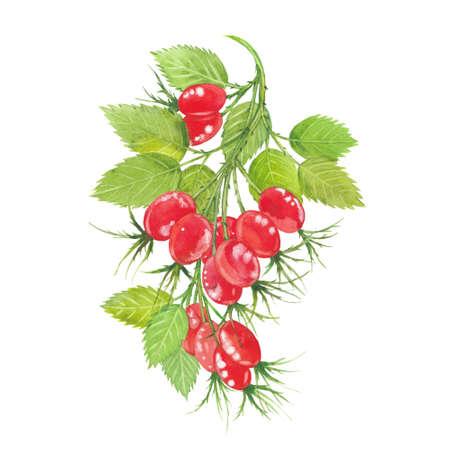 Sprig of ripe rose hips. Illustration on white background