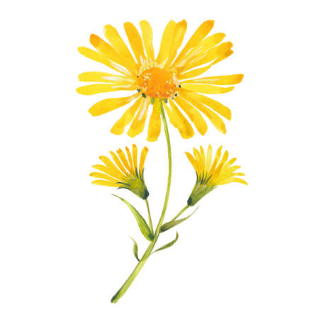 watercolor arnica flowers