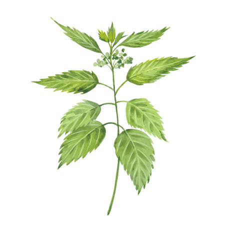 Nettle. Hand drawn watercolor painting. Illustration on white background
