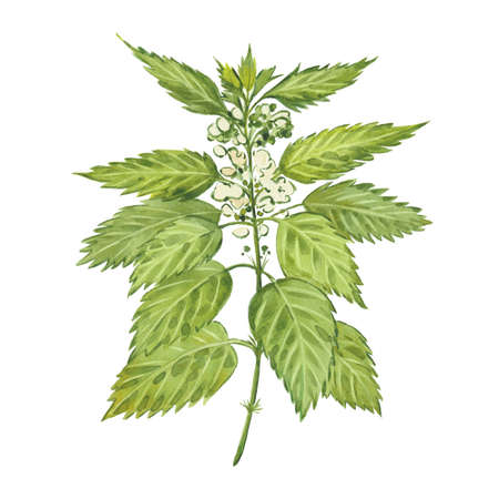 Green nettle. Hand drawn watercolor painting. Illustration on white background