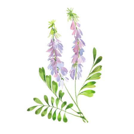 Flowering licorice stalk. Hand drawn watercolor painting. Illustration on white background Reklamní fotografie
