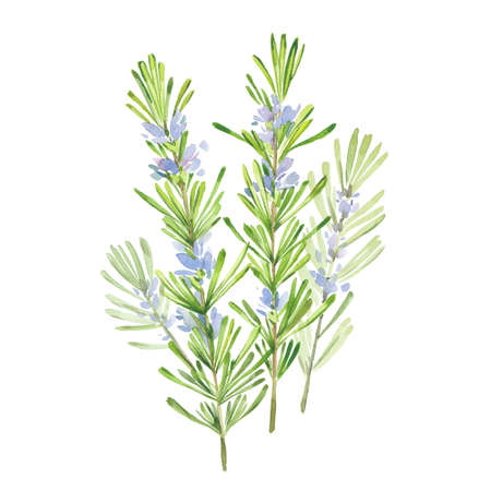 Branches of blooming fragrant rosemary, watercolor illustration on white background Reklamní fotografie