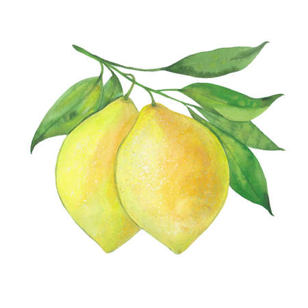 Two yellow lemons. Watercolor illustration on white background Zdjęcie Seryjne