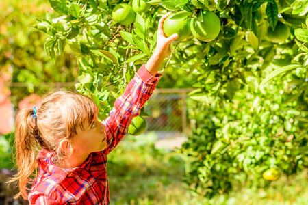 seven year old: Seven year old girl is picking clementines from her garden