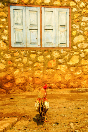everyday scenes: Beautiful rooster from Laos