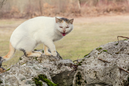 mewing: White domestic cat is standing on the rocks in the woods scared and mewing