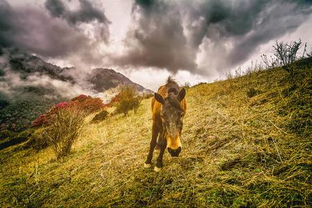 Wild horses in Himalaya, Nepal