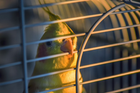 fluffy tuft: Nimfa Parrot in the cage