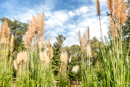 wit: Group of pampas grass in the garden wit  blue sky