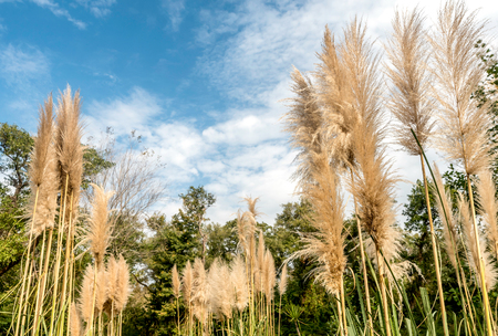 pampas: Group of pampas grass in the garden wit  blue sky