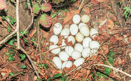tundra swan: Goose eggs in the wild Stock Photo