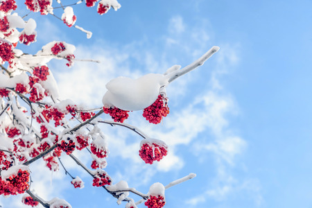 ash berry: Branches of mountain ash tree in the winter snow Stock Photo