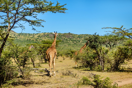 girafe: Girafe in Kenya