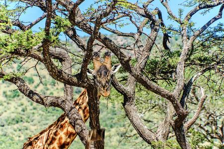 girafe: Girafe looking through the trees in Kenya Stock Photo
