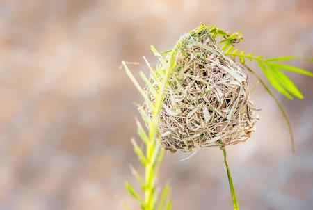 Weaver bird nest 0n branch in Tanzania, Africa