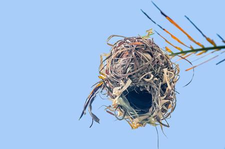 WEAVER: Weaver bird nest 0n branch in Tanzania, Africa