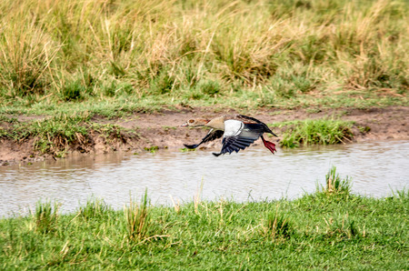 alopochen: The Egyptian goose flapping wings in Tanzania, Africa Stock Photo