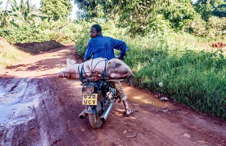 Uganda, Africa- April 5, 2016:Unidentified Ugandan man transporting domestic pig on a motorcycle, Entebbe,Uganda