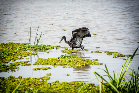 openbill: African Openbill Stork landing on the river Stock Photo