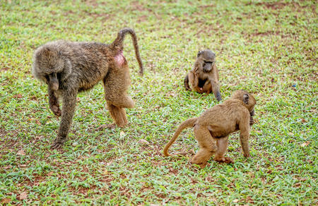 youngs: Olive baboon with a missing leg with his youngs in Uganda
