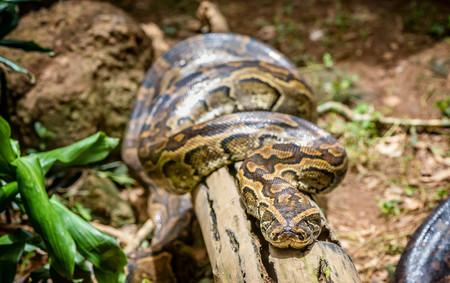 African Rock Python in Uganda