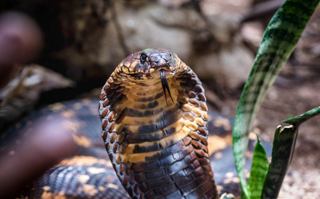 King Cobra snake in Uganda, Africa Stock Photo
