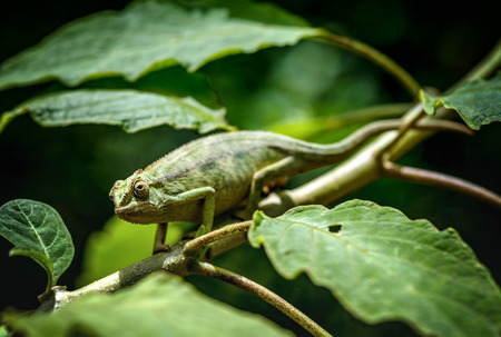 Chameleon on the tree branch in Uganda, Africa