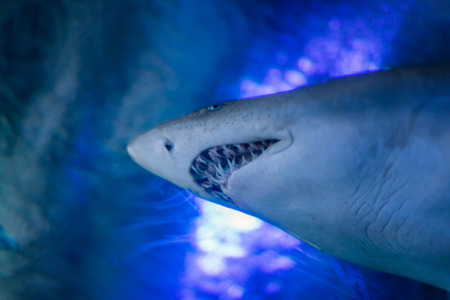 Close up of the Great white shark underwater