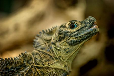 Australian Iguana Lizard Reklamní fotografie