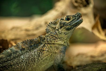 Australian Iguana Lizard Stock Photo