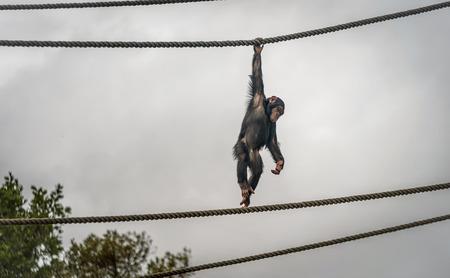 Chimpanzee  hanging on the rope