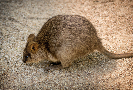 Wallaby looking for food in Queensland, Australia