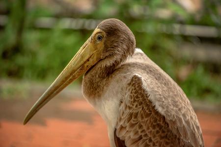 Close up of Yellow Billed Stork in Kuala Lumpur, Malaysia Stock Photo