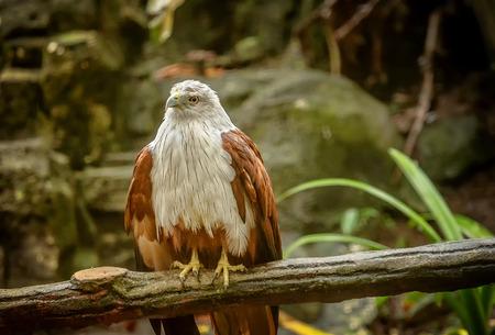 The bald eagle in Kuala Lumpur, Malaysia